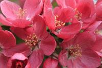 Red Apple Blossoms 3