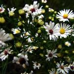 """White Wild Aster"" by ScottHovind"
