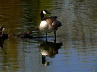 Mirrored Goose