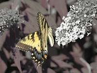 Tiger Swallowtail 3 selective color