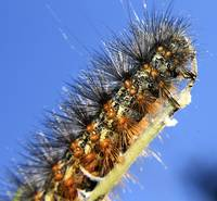 Salt Marsh Caterpillar (3)
