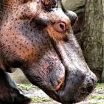 """Hippo"" by ScottHovind"