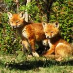 """Fox Pups"" by ScottHovind"