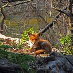 """Fox Pup 2"" by ScottHovind"