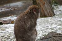 Lonely Snow Monkey