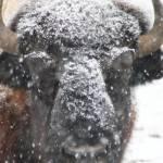 """American Buffalo 3"" by ScottHovind"
