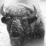 """American Buffalo 4"" by ScottHovind"