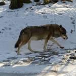 """""""IMG_3892wolf"""" by kuchipi"""