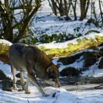 """""""IMG_3893wolf4"""" by kuchipi"""