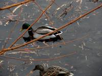 male/female 1/2 mallard duck branches DSC01711 (2)
