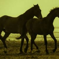 Horses in the Mist Art Prints & Posters by Carol Schultz