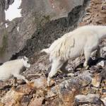 """Mountain Goats"" by froesephotography"