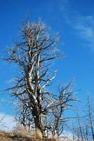 2171-yellowstone-butte-tree copy