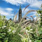 """Ornamental Grasses & White Flowers, Peace Tower"" by Chantal"