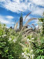 Ornamental Grasses & White Flowers, Peace Tower