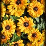 """Yellow Black-eyed Susans on a Vintage Background"" by Chantal"