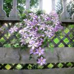 """Purple Clematis Flower Vine Soaking up Sun Rays"" by Chantal"