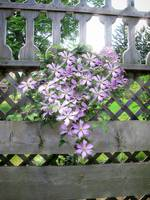 Purple Clematis Flower Vine Soaking up Sun Rays