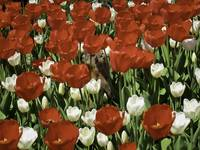 Groundhog Standing in Red & White Tulip Flower Bed