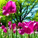 """Luminous Purple Tulip Blooms in Spring Flower Bed"" by Chantal"
