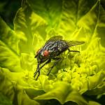 """Macro Photo of House Fly Sunning on a Yellow Leaf"" by Chantal"