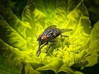 Macro Photo of House Fly Sunning on a Yellow Leaf