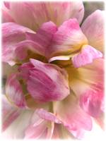 Soft & Frilly Pink & White Tulip Petals in Bloom