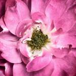 """Magenta Rose Petals & Stamens ~ Macro Flower Photo"" by Chantal"