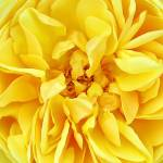 """Sunny Yellow Rose w/ Petals & Stamens, Macro Photo"" by Chantal"