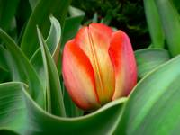 Close-up of Young Red Tulip Flower w/ Green Leaves