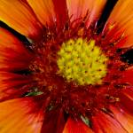 """African Sunflower Flower Study #-9401"" by Fotofrieze"