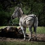 """Painted Zebra"" by tomgehrke"