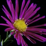 """Miniature Magenta Flower"" by Fotofrieze"