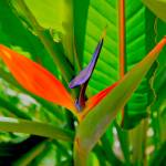 """""""Tropical Flower (HDR)"""" by Fotofrieze"""