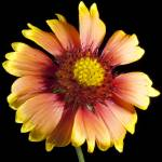 """African Sunflower Flower Study #-9397"" by Fotofrieze"