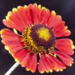 """African Sunflower-9553"" by Fotofrieze"