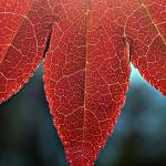 """Michigan - Spring Red Leaf"" by Fotofrieze"