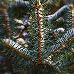 """""""Pine & Snow."""" by Fotofrieze"""