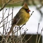 """Cardinal on Branch (1)"" by Fotofrieze"