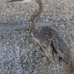 """FL, Fort DeSoto Park - Great Blue Heron"" by Fotofrieze"