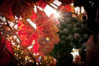 Autumn in the Grapevines