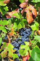 Piedmont Grapes