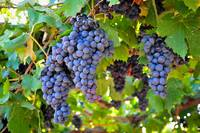 Valpolicella Fruit