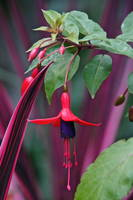 Fuchsia Delight