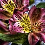 """Alstroemeria Peruvian Lily flowers"" by InspiraImage"