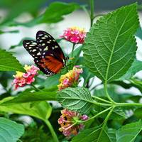 Hecale Longwing Butterfly on Lantana