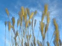 In The Presence Of Nature - Pampas Grass