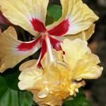 """Hibiscus"" by AmberAnn"