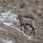 """Wind River Bighorn"" by VanPhillips"