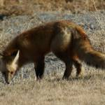 """Wyoming Pasture Fox"" by VanPhillips"